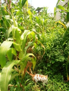 Can you spot the cat in the maize??